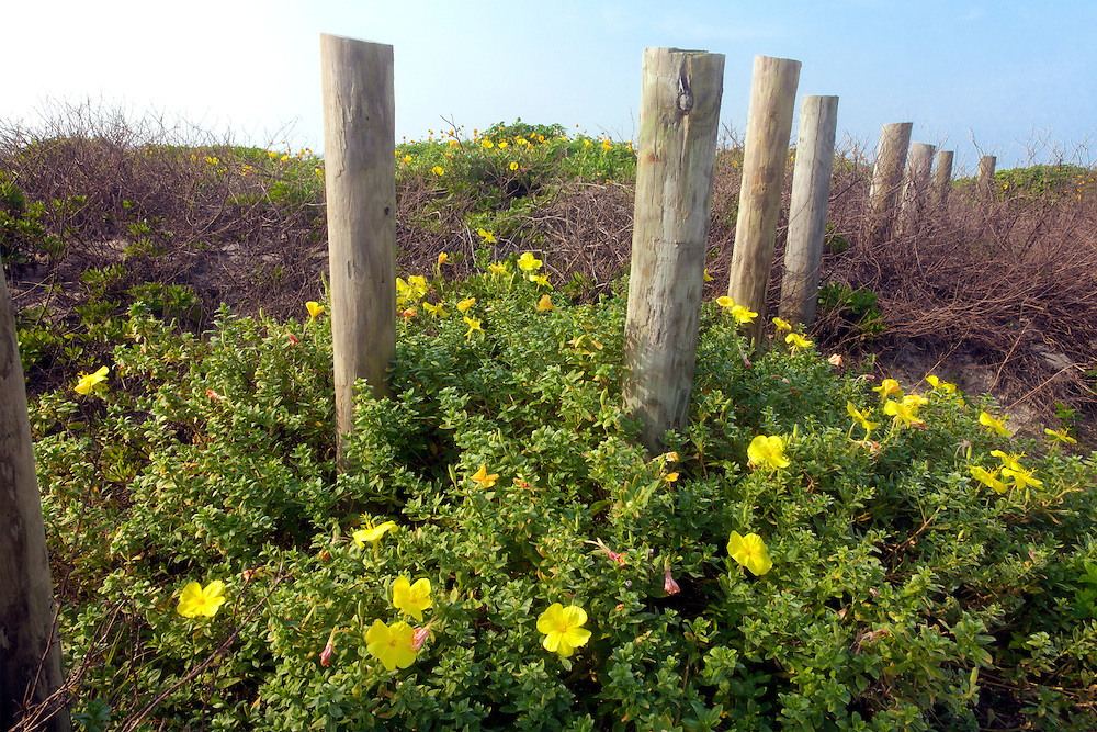 The beautiful wild dunes, bright with Beach Evening Primrose (Oenothera drummondii), edge Spanish Grant on West Beach, Galveston Island, Texas
