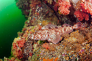A Lingcod, Ophiodon elongatus, rests in a bed of invertebrates in Browining Passage in Vancouver Island, British Columbia, Canada