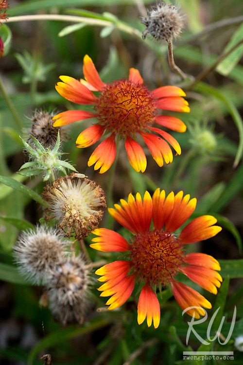 Indian Blanket Flower, Falls of the Ohio State Park, Clarksville, Indiana