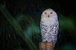 13-08-2014 NED: Dagje Ouwehands dierenpark, Rhenen<br /> Sinds de Harry Potter-films is de sneeuwuil wereldwijd een van de bekendste uilensoorten geworden.