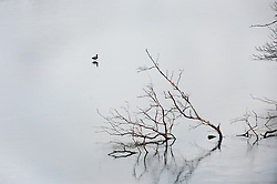A lone duck walks out over one of the frozen fishing ponds at Wentworth Woodhouse.29 January 2010.Images © Paul David Drabble