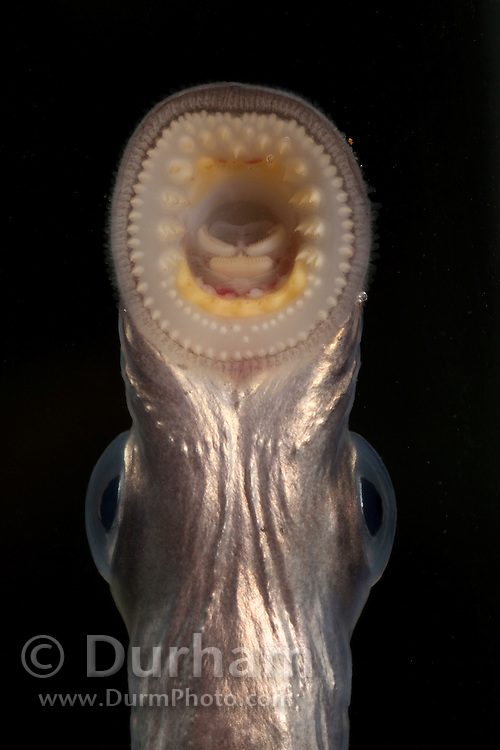 An juvenile Pacific Lamprey (Lampetra tridentata) uses its sucker-like mouth parts to attach itself to the glass of an aquarium . These fish have an ancient lineage, appearing in the fossil record nearly 450 million years ago – well before the age of the dinosaurs. Pacific lamprey are an important ceremonial food for Native American tribes in the Columbia River basin. Little is known about the life history or habits of this fish except that their numbers in the Columbia River have greatly declined over several decades. Photographed at the USGS Columbia River Research Lab in Willard, Washington.