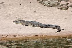 A saltwater crocodile (Crocodylus porosus) basks on a sandbank in the Sale River, in Doubtful Bay on the Kimberley coast.