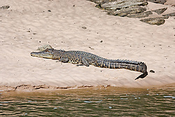 A saltwater crocodile (Crocodylus porosus) basks on a sandbank in the Sale River, in Doubtful Bay on the Kimberley coast.