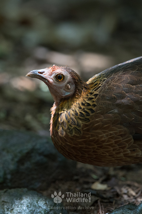 The red junglefowl (Gallus gallus) is a tropical member of the family Phasianidae. It is the primary progenitor of the domestic chicken.