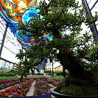 Toluca, México (Julio 17, 2016).- El Jardín Botánico Cosmovitral es nuevamente sede de la 8ª Exposición Anual Pasión por el Bonsái, en donde los artistas Felipe J. González Montesinos y Felipe J. González López, un proyecto que consistió en cultivar árboles bonsái de manera profesional y ahora buscan promover el arte del bonsái a través de exposiciones, talleres, y demostraciones.  Agencia MVT / Crisanta Espinosa.