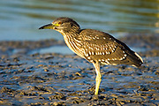 Israel, Juvenile Black-crowned Night Heron. Nycticorax nycticorax July