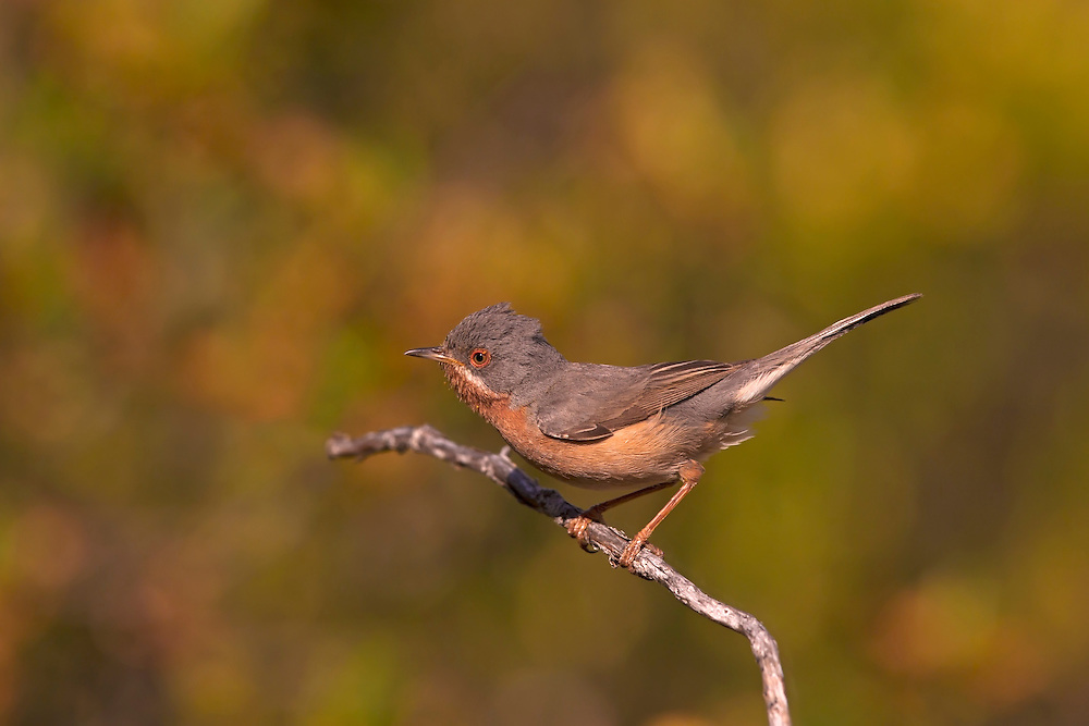Western Subalpine Warbler - Sylvia cantillans. Length 12-13cm. A secretive bird, reminiscent of a Dartford Warbler in size, shape and habits. Adult Male has blue-grey upperparts, except for the brownish wings. The throat and breast are reddish, but note the striking white 'moustache'; the belly is white and note also the red orbital ring. Adult Female and Juvenile have much duller colours than the male, although a hint odf a pale 'moustache' can usually be discerned. Utters a sharp 'tchett' alarm call. The Western Subalpine Warbler breeds in southern Europe and winters in Africa; vagrants (a dozen or so in a good year) occur mainly at migration times, typically in coastal scrub.