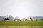 Nederland, Ooij, 6-4-2015Een kudde Konikpaarden grazen in de Ooijpolder, Millingerwaard. De Konik leeft in kuddeverband. De wilde paarden zijn uitgezet in natuurgebieden door heel Nederland en doen het goed. Soms worden ze uitgezet in Oost-europa.Foto: Flip Franssen/Hollandse Hoogte