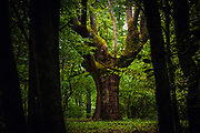Very old oak deep in the forest