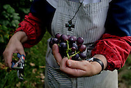 BETHLEHEM, CT- 11 OCTOBER 2005-Mother David Serna, Abbess of the Abbey of Regina Laudis, tends to the grape vinyard on the abbey grounds. The grapes are used to make a variety of food items.   <br /> (Photo by Robert Falcetti)