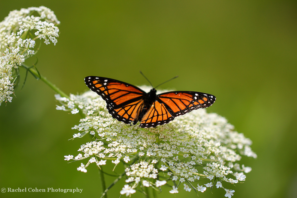 &quot;Butterfly and Lace&quot;<br /> <br /> Viceroy Butterfly, the Monarch Mimic on Queen Ann's Lace!!<br /> <br /> Flowers and Wildflowers by Rachel Cohen