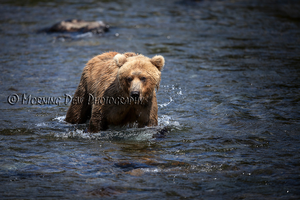 An Alaskan brown bear wades through the Brooks River in search of salmon.