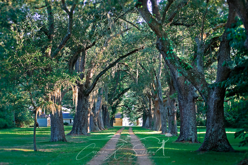 Sunlight filters through trees draped in Spanish moss May 8, 2011 on Cleveland Street in Ocean Springs. (Photo by Carmen K. Sisson/Cloudybright)