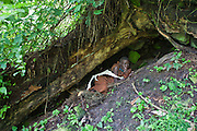 Flora shelters in one of the traditional dwellings of the Mukuno village, natural hollows occur under tree roots where they sleep.  Flora is one of the elders of the traditional Batwa pygmies from the Bwindi Impenetrable Forest in Uganda. They were indigenous forest nomads before they were evicted from the Bwindi Impenetrable Forest when it was made a World Heritage site to protect the mountain gorillas.  The Batwa Development Program now supports them.