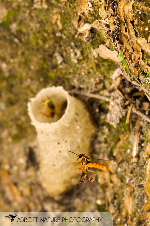 Stingless Bee (Tetragonisca angustula) flying to nest entrance made of wax<br /> BELIZE: Cayo District<br /> Xunantunich Mayan Ruins<br /> 12-Sep-2014<br /> J.C. Abbott &amp; K.K. Abbott