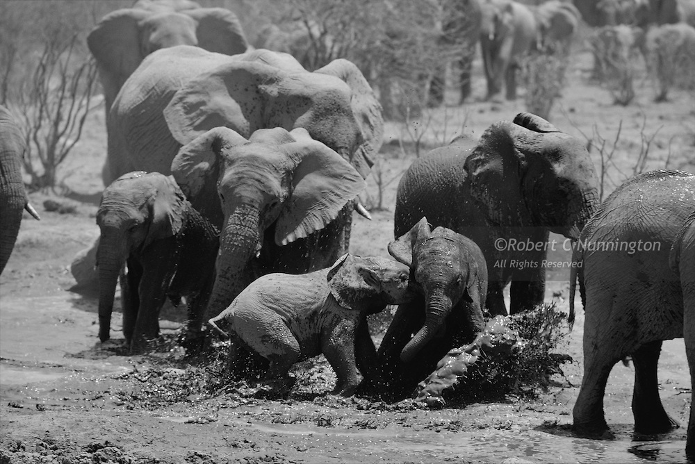 Exuberant elephant calves (loxodonta africana) playing at a waterhole