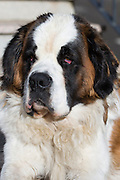 St Bernard rescue dog in the Spanish Pyrenees mountain, Northern Spain