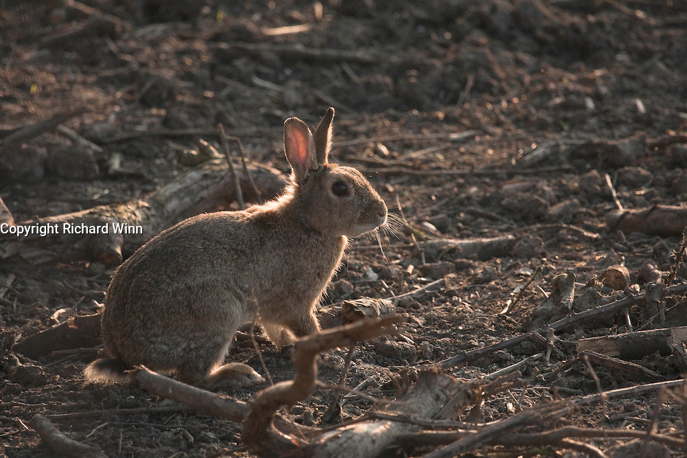 European rabbit backilt by the late evening sun at the edge of a field alongside the River Parrett.