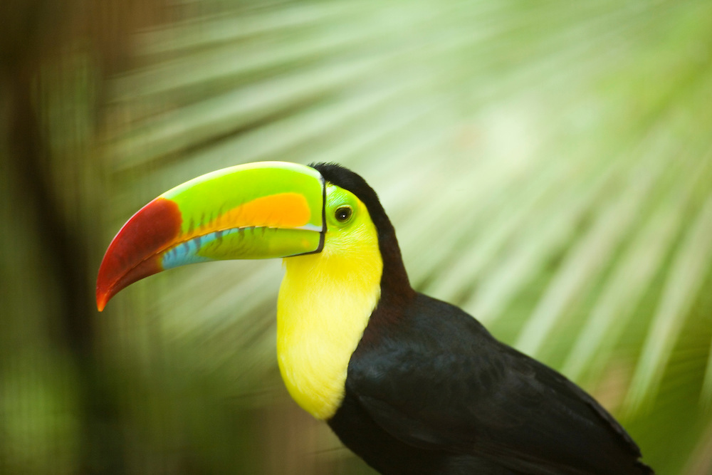 Keel-Billed Toucan, scientific name Ramphastos sulfuratus, captive at Belize Zoo