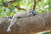 Ring-tailed Lemur<br /> Lemur catta<br /> Male resting<br /> Berenty Private Reserve, Madagascar