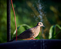 Mourning Dove. Image taken with a Nikon Df camera and 80-400 mm VR II lens.