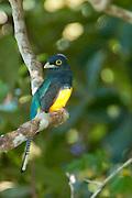 Violaceous Trogon high the canopy along the Cristalino river, Amazon, Brazil