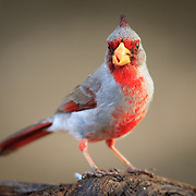 Pyrrhuloxia eating with a perplexed look early morning South Texas.