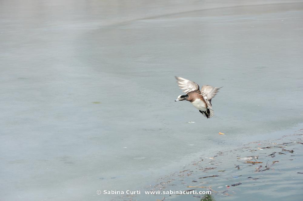 American Widgeon, Humber Bay Park, Toronto, Ontario