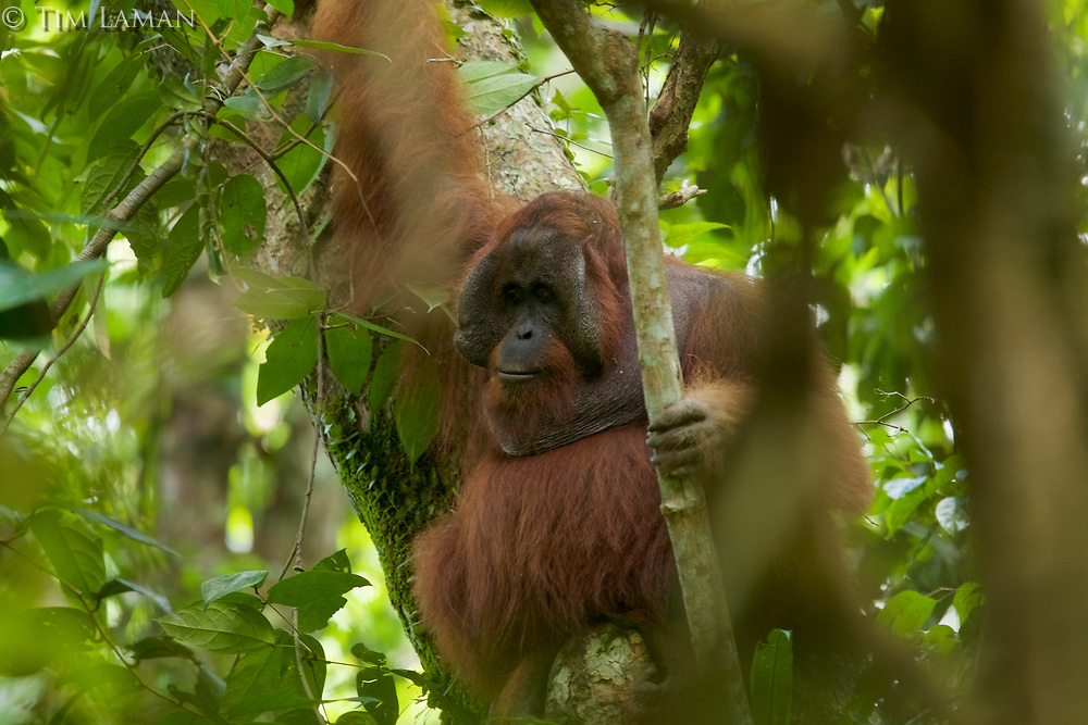 Adult male Bornean Orangutan.<br />