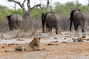 A male lion, Panthera leo, sitting and three African elephants, Loxodonta africana, in the background.