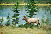 Bull Elk or wapiti ( Cervus canadensis)   by the Athabasca River<br />