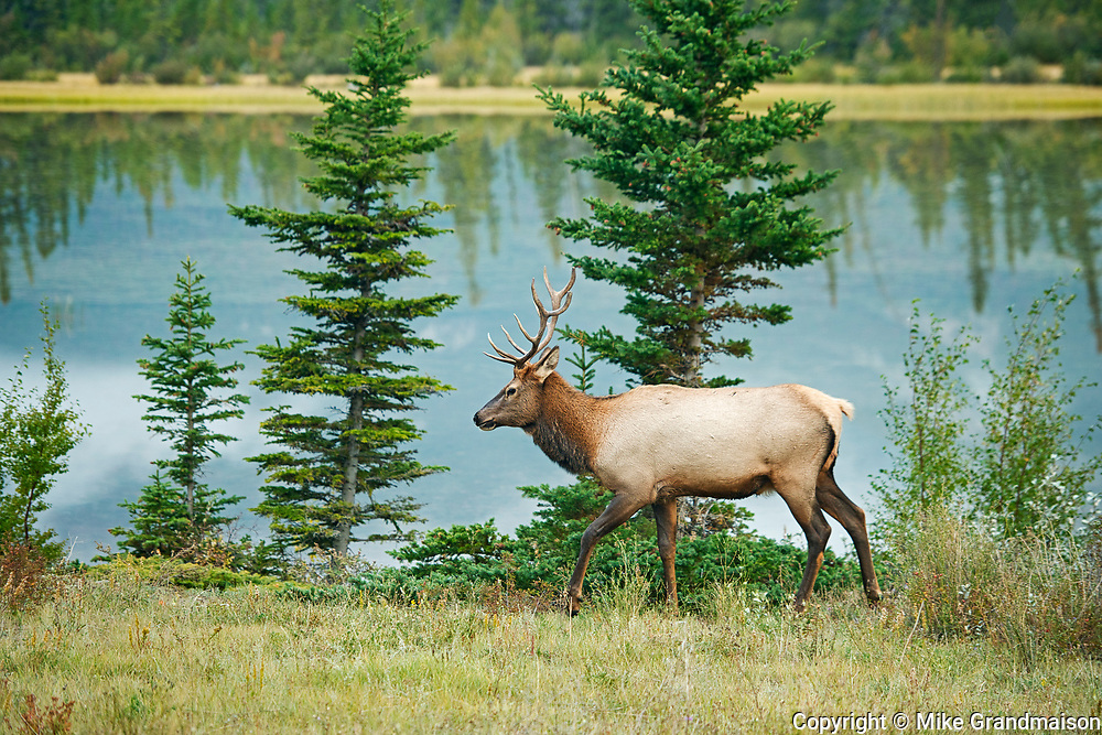 Bull Elk or wapiti ( Cervus canadensis)   by the Athabasca River<br />Jasper National Park<br />Alberta<br />Canada