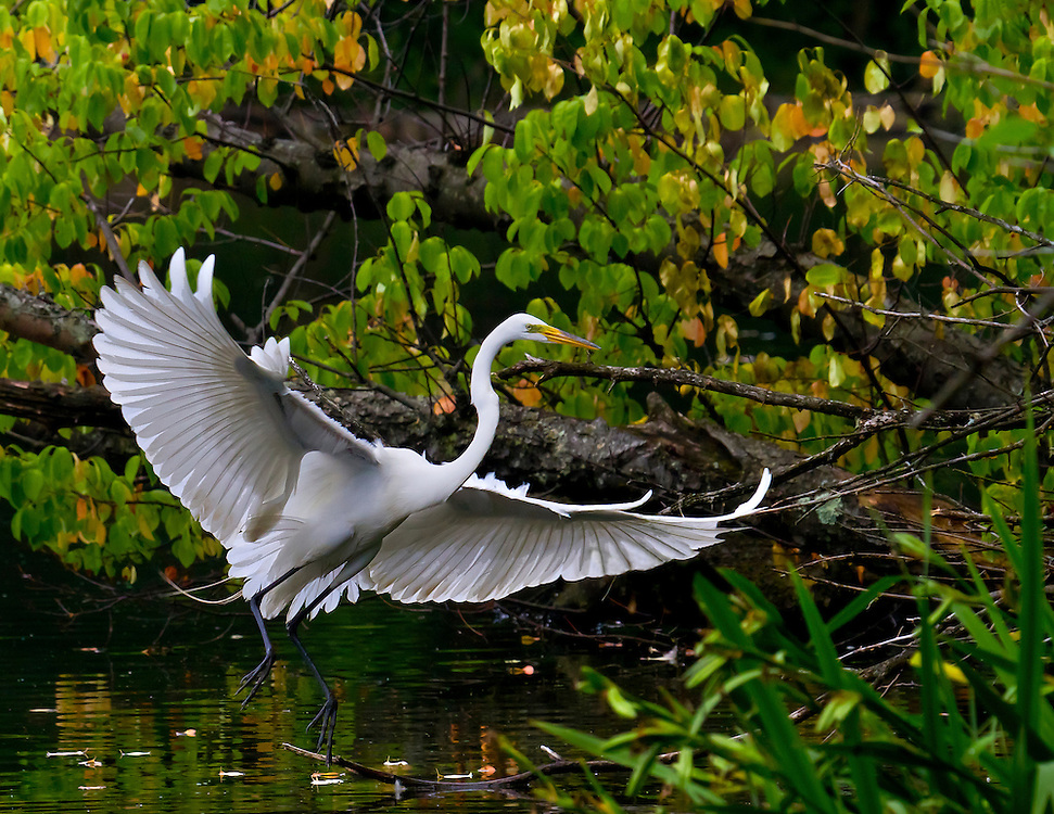A rather large egret landing at the Prospect Park lake on a late May afternoon.