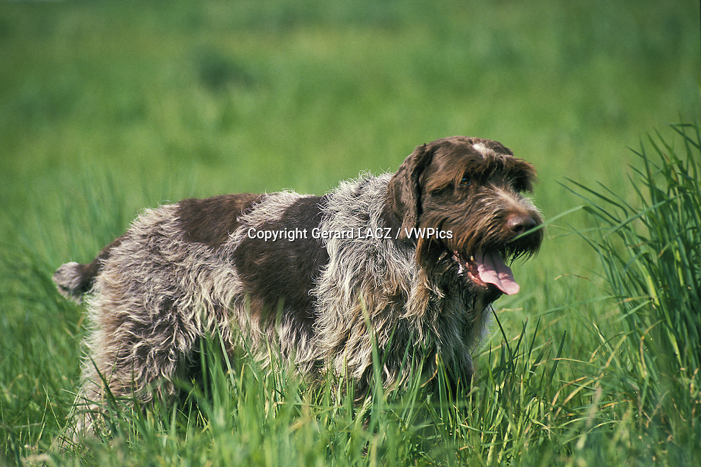 Korthal Dog or Wire-Haired Griffon