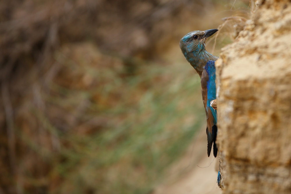 Roller near a nest hole in bee-eater colony, Bagerova Steppe, Kerch Peninsula, Crimea, Ukraine