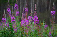 Fireweed, or Rosebay Willow-herb, Chamerion angustifolium, is a very common wild plant in the huge Boreal Forest Belt, in the Northern regions of the world, from China and Russia, all the way through Europe and across North America. They are quick to colonize disturbed soils, like along roads, in areas where there has been forest fires (hence the name) and on forestry clear cuttings. San He District Forest, near Yichun city, Heilongjiang Province, China