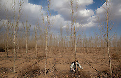 A volunteer from Shanghai Roots & Shoots prunes poplar trees that have been planted in 2008 in Kunlun Qi in the Inner Mongolia Autonomous Region of China on 24 April 2011. Volunteers from Shanghai Roots & Shoots help local farmers plant trees on plots of land allocated by the government where the farmers are licensed to harvest the trees that have reached maturity, but only on the condition that they replant on the same plot. Poplars are chosen as they are drought-hardy and particularly effective at sequestering carbon while suitable for the local soil and climate. Inner Mongolia, China's third largest province, is fighting severe desertification, much like the provinces of Xinjiang, Gansu, Qinghai, Ningxia, Shaanxi, Heilongjiang and Hebei. Over-grazing, logging, expanding farms and population pressure, along with droughts have steadily turned once fertile grasslands into sandy plains. China has adopted measures to stop the land degradation such as reforestation, resettling nomadic Mongolians from grasslands to urban areas and restricting grazing areas. Tree planting has become a key government effort to combat desertification and supporting the government's reforestation endeavors are numerous non-governmental organizations (NGOs), such as Shanghai Roots & Shoots. The NGO launched the Million Tree Project in 2007 in Kulun Qi with aims to plant its first million trees by 2014 to hinder the expanding desert. To-date, they have planted more than 600,000 trees.