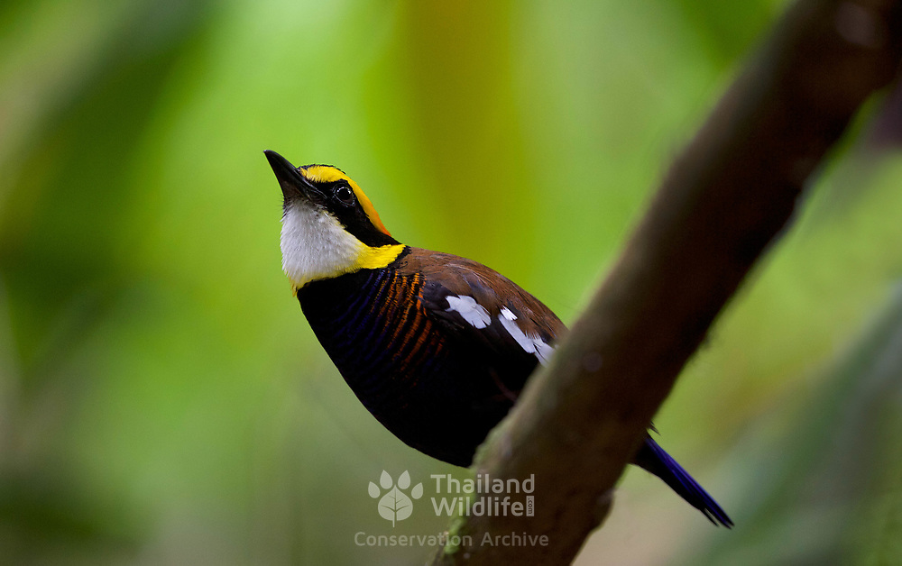 The Malayan banded pitta (Hydrornis irena) is a species of bird in the family Pittidae. It is found in Thailand, the Malay Peninsula and Sumatra. It was formerly considered conspecific with the Bornean and Javan banded pittas. Together, they were referenced as the banded pitta.