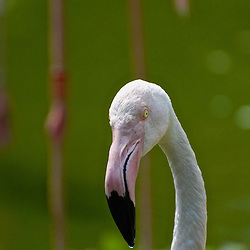 Portrait of a flamingo in the flamingo pond.