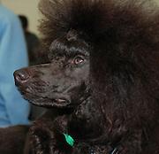 Coffee - brown miniature poodle