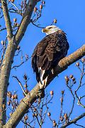 Bald Eagle -  Haliaetus leucophalus sitting in a tree looking back over its shoulder