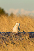 A snowy owl (Nyctea scandiaca) watches the sun set over the Pacific Ocean from its perch on Damon Point in Ocean Shores, Washington. The Olympic Mountains are visible in the background. Snowy owls, like other owls, hunt at night and rest during the day to conserve energy. Snowy owls, which spend the summer in the northern circumpolar region north of 60 degrees latitude, have a typical winter range that includes Alaska, Canada and northern Eurasia. Every several years, for reasons still unexplained, the snowy owls migrate much farther south in an event known as an irruption. During one irruption, a snowy owl was found as far south as the Caribbean. During the 2011-2012 irruption, Ocean Shores on the Washington coast was the winter home for an especially large number of snowy owls. Snowy owls tend to prefer coastal and plains areas, which most resemble the open tundra that serves as their typical home.