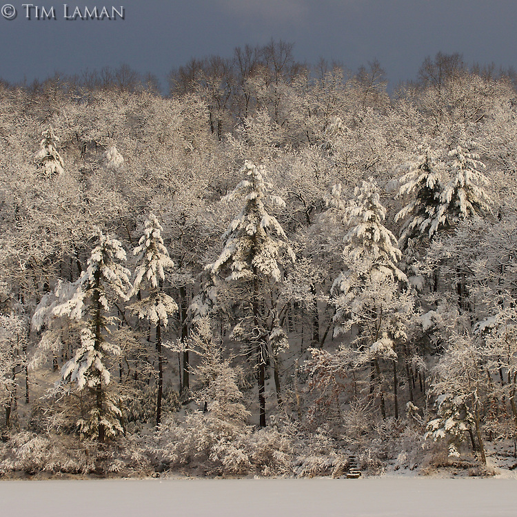 """After the Storm""<br /> Sunrise illuminates the forest after a winter storm at Walden Pond.  Winter views of Walden Pond."