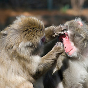 Snow Monkey Attempting to Remove an Insect From another Monkey's Eye