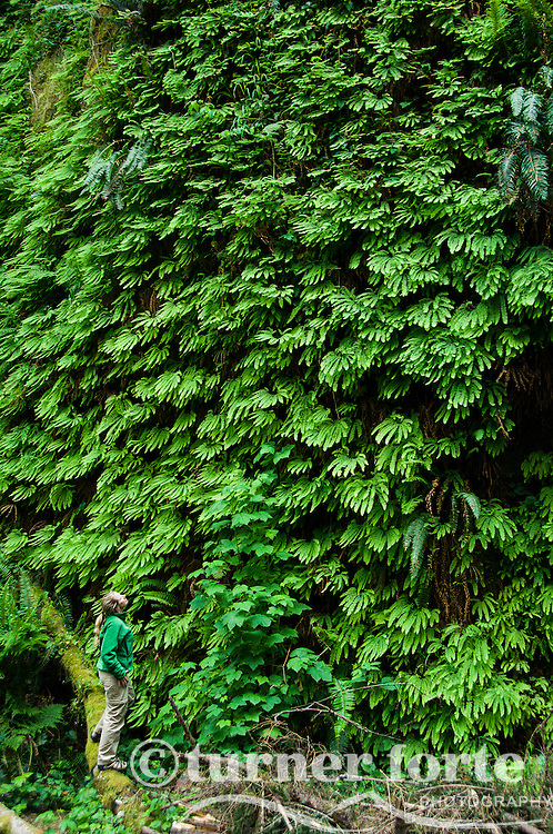Hiker checks out canyon wall covered in ferns, Fern Canyon, Prarie Creek Redwoods State Park, Redwood National Park, California.