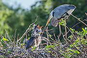 Nesting Great Blue Heron, Ardea herodias, tends to chicks in Wakodahatchee Wetlands in suburband Delray, Palm Beach County, Florida, United States.
