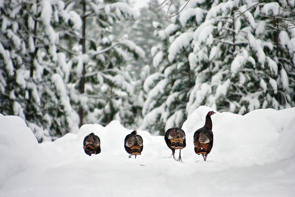 JEROME A. POLLOS/Press..A rafter of turkeys trudge through the snow Monday near English Point on Hayden Lake.