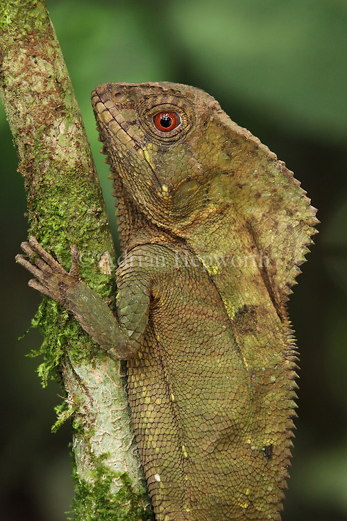 Camouflage is the first line of defense against predation for the Helmeted Iguana; it can change its skin tone to match the trunk or branch that it is resting on. Should this disguise fail to deceive a predator, however, the iguana expands its head crest and throat fan while at the same time lifting its body away from its perch. Any potential predator is suddenly faced with prey that appears significantly larger than first perceived.<br />