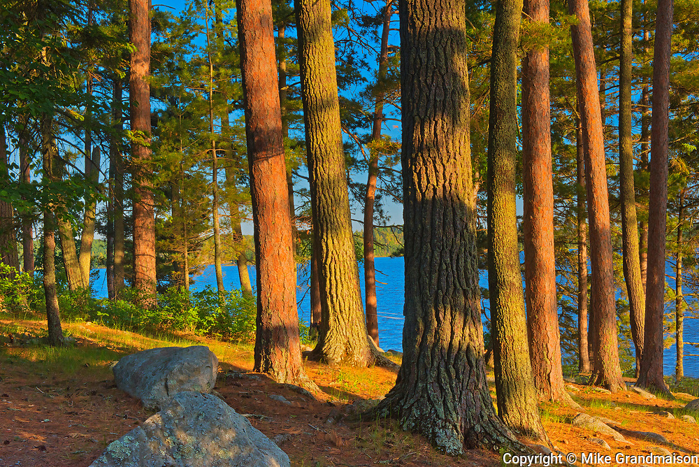 Mature white pine (Pinus strobi) and red pine (Pinus resinosa) at sunset<br />